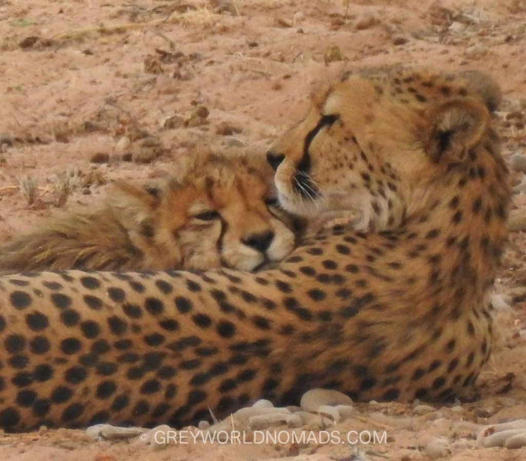Despite being the fastest land animal on Earth the Cheetah seems to be loosing its race into extinction. Only a few thousand are left in Africa.