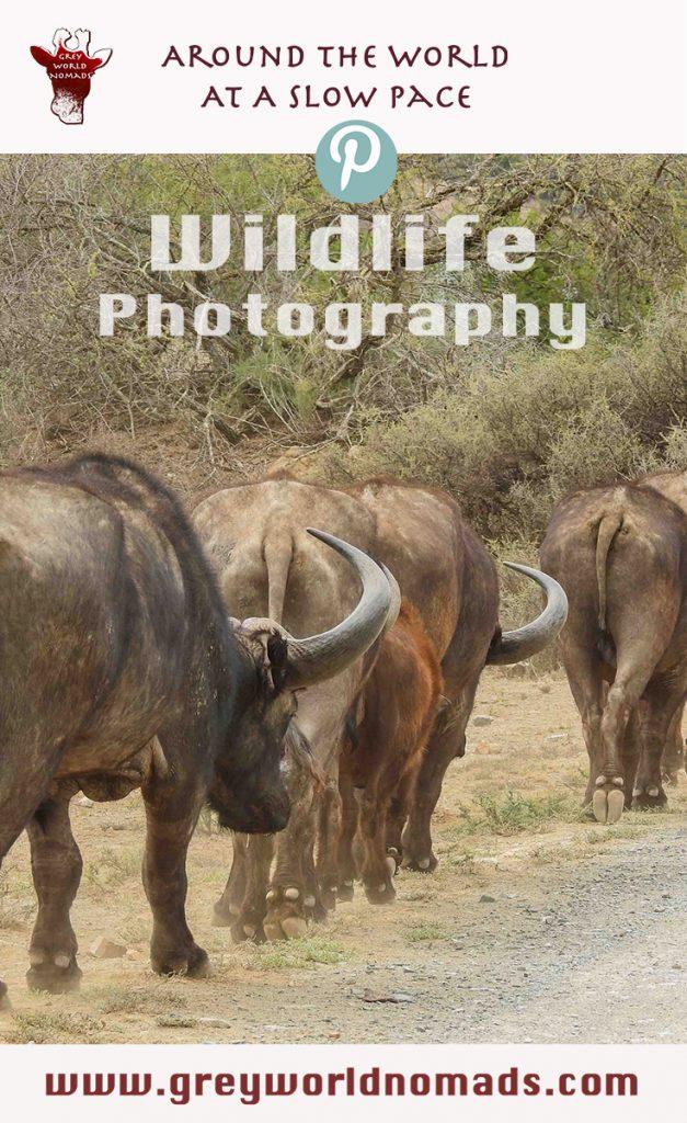 buffaloes-in-a-row