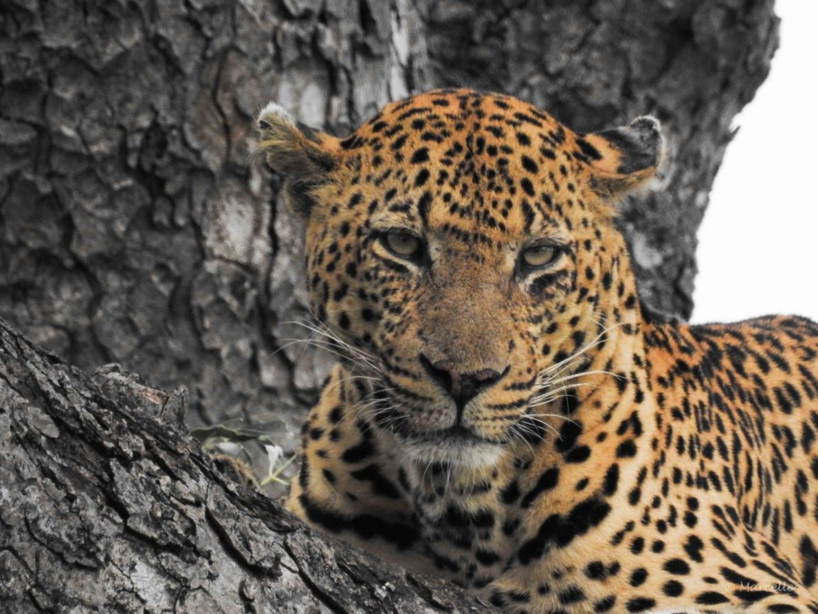 Eye To Eye With A Leopard  |  Auge In Auge Mit Einem Leoparden