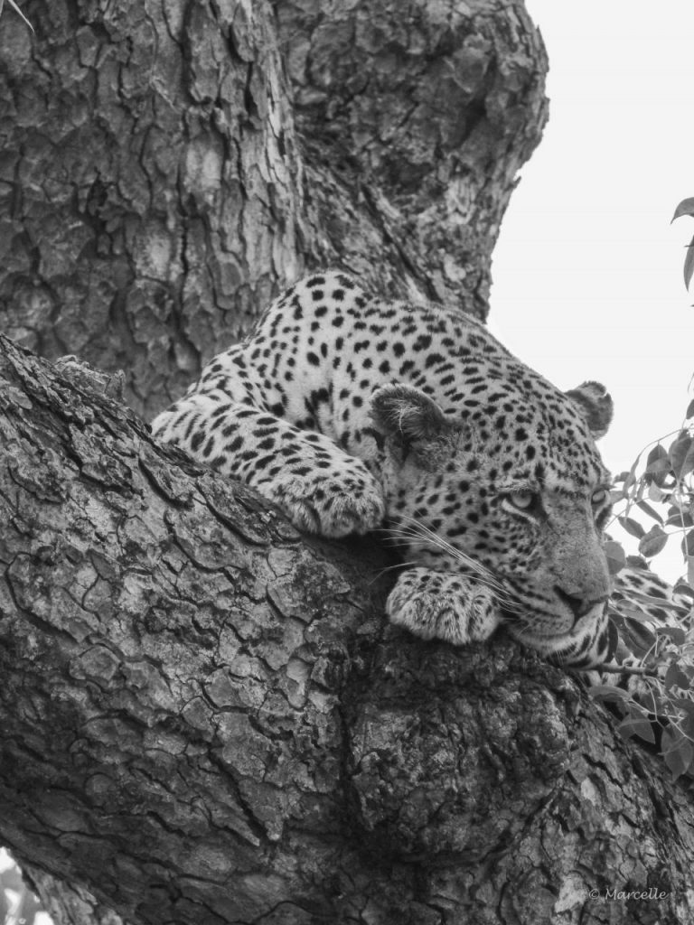 Marcelle's Wildlife Photography: Leopard in Kruger National Park, South Africa | Marcelle's Wildtierfotografie: Leopard im Kruger National Park, Südafrika