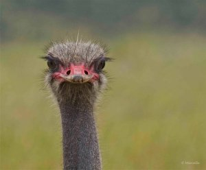 African Ostrich, South Africa