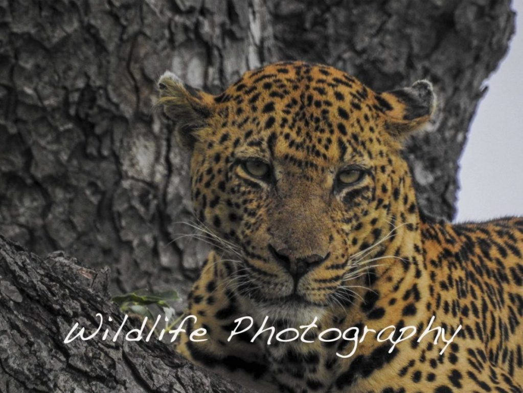 Wildtierfotografie in Nationalparks und Naturreservaten bringt die Schönheit der Tiere in freier Wildbahn zur Geltung. Mit jedem Bild soll der Betrachter zum Schutz der Tierwelt bewegt werden, was das Hauptziel dieser Sammlung der besten Fotografien von The Wild Life ist.