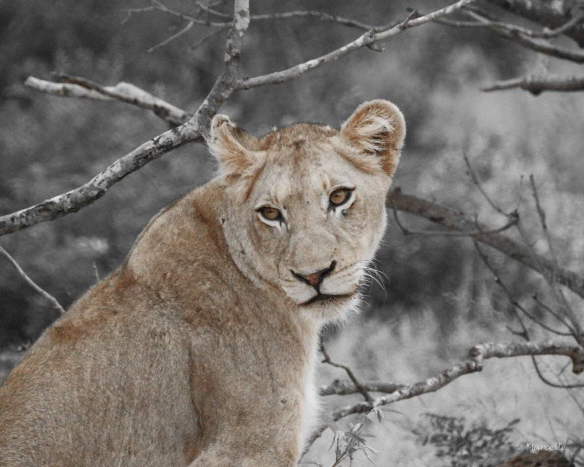Charming Look Of Young Lioness  | Charmanter Blick Einer Jungen Löwin
