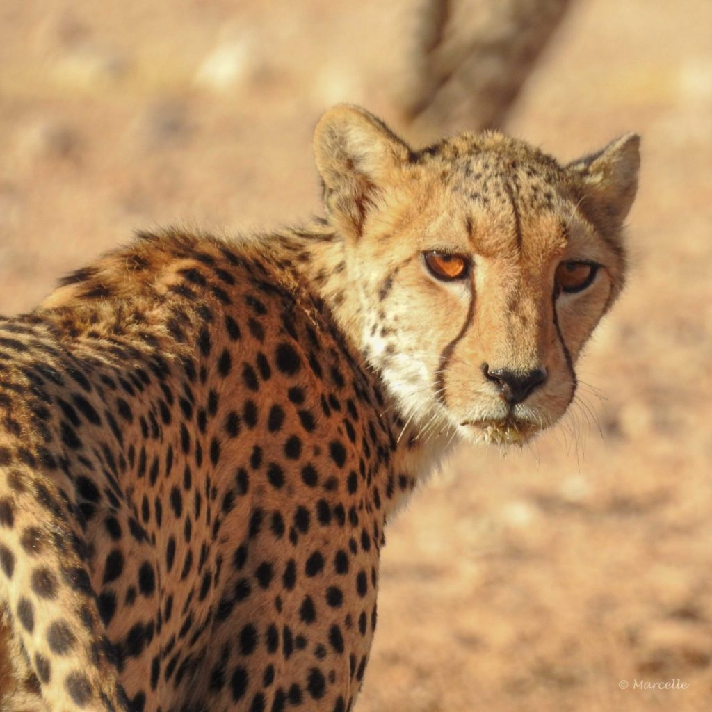 Amber Eyes Of Cheetah Mom