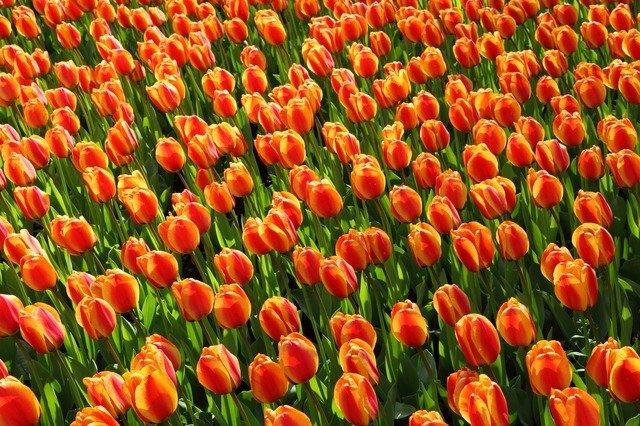 Land der Tulpen, amsterdam nach keukenhof, amsterdam keukenhof entfernung, wann ist tulpenzeit, wann blühen tulpen in holland, hotels nähe keukenhof holland, tulpenfelder holland karte, tulpenblüte keukenhof beste zeit, reise tulpenblüte holland, flusskreuzfahrt zur tulpenblüte nach holland, tulpenzeit in holland, tulpenfest in holland, die schönsten Tulpen.