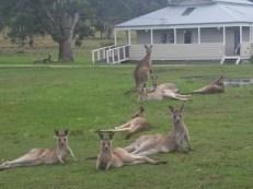 Kangaroons at KCC - Ana Vila-Concejo