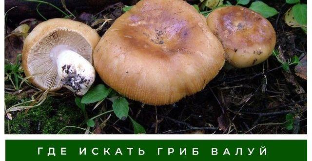 Описание и фото гриб валуй