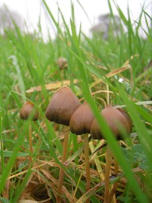 Колпак свободы гриб