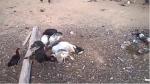 Gallinas que lograron sobrevivir a las balas de los sicarios dan cuenta de los restos de un chivo.