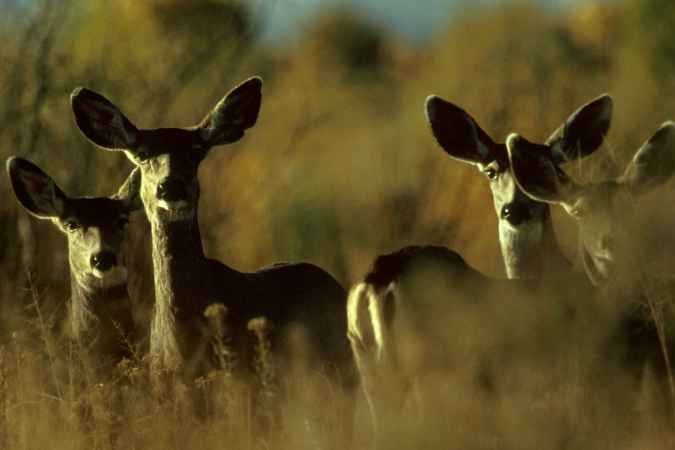 Mule_deer_animal_herd