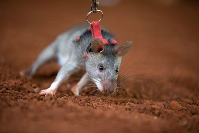 training-rat