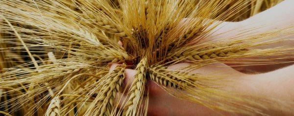 Griffioen brood en banket - Graan