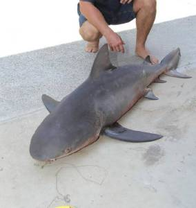 Bull Shark caught in Gulf of Mexico.