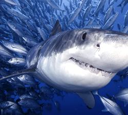 Eat Like a Tiger Shark