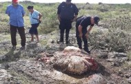 """Descuartizan y roban la carne de una vaca, del rancho """"Loreto"""", de Dzidzantún (VÍDEO)"""