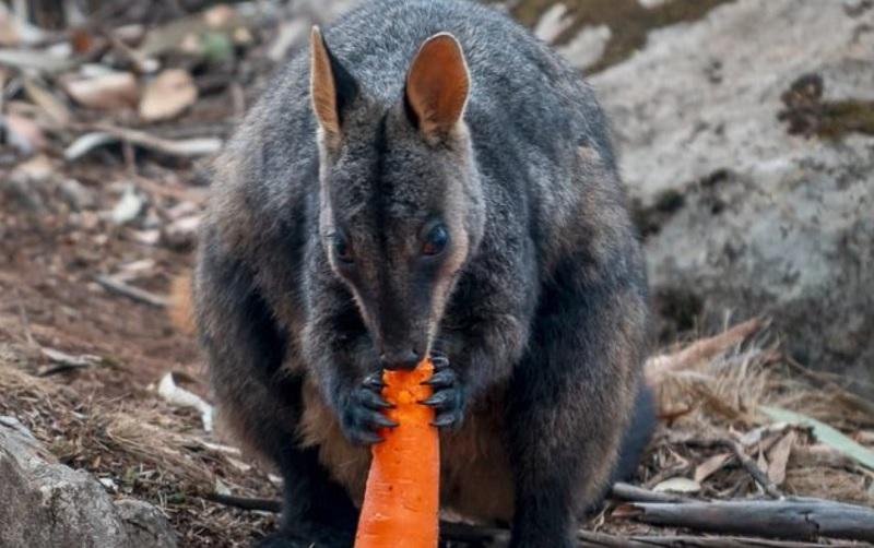 Lanzan zanahorias desde el cielo para alimentar a animales en zonas de incendio