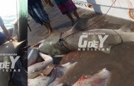 Pescan otro enorme tiburón cerca de Dzilam: El segundo cuatro  días