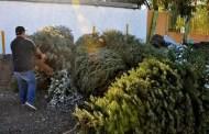 La Comuna de Mérida recolecta más de 200 árboles navideños, en sus centros de acopio
