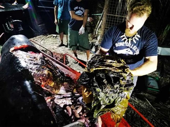 Hallan una ballena muerta con 40 kilos de plástico en el estómago