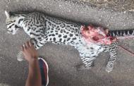 Atropella y mata un jaguar, en la vía Tekax – Ticum