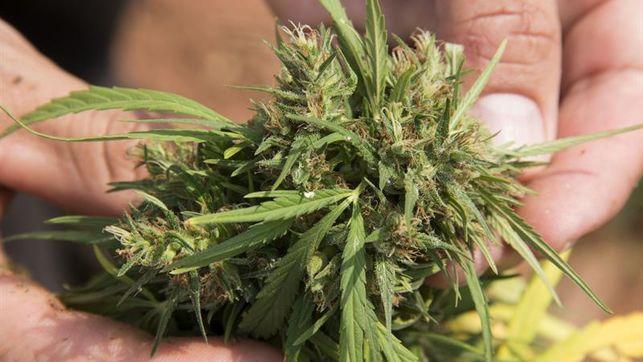 La marihuana, a un paso de aprobarse como legal en Estados Unidos