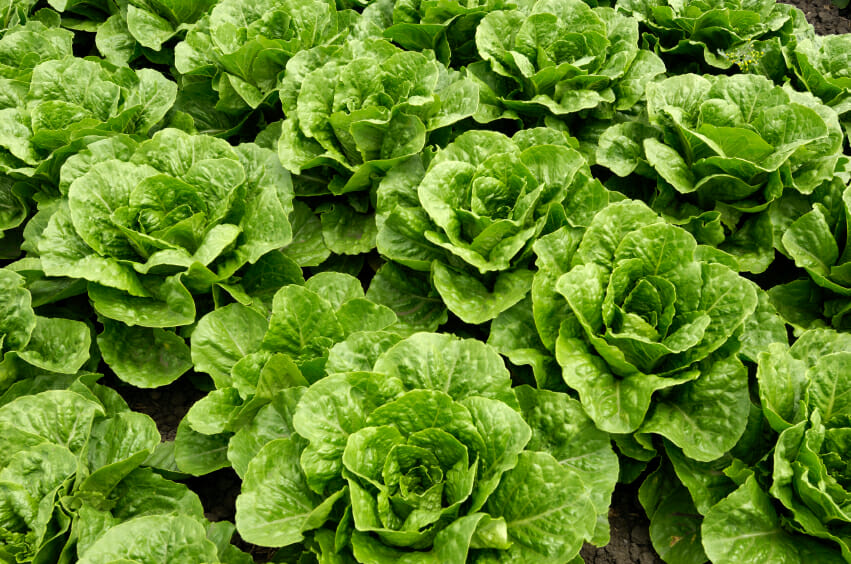 bunches of romaine lettuce growing in a garden