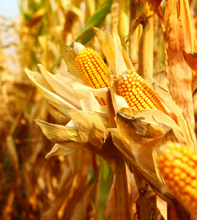 sweet corn stalks with corn ready for harvest golden color