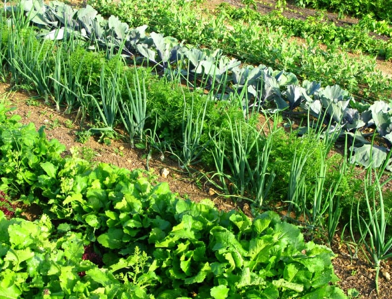 rows of vegetables in a garden lettuce, and other greens