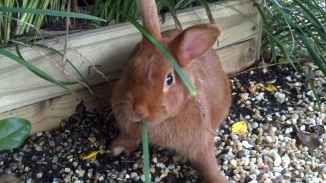 Thrianta Rabbit doe Molly © 2013 Grimes Family Fluffers