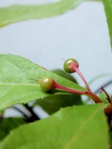 苔玉の新芽1