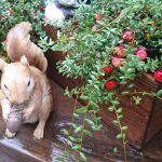クランベリーは可愛い常緑果樹。ベランダで赤い実や紅葉を楽しめます。