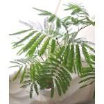 風水でも人気の観葉植物エバーフレッシュ。夜は葉を閉じて眠ります。