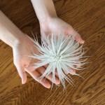 ふわふわの白い産毛(トリコーム)の銀葉が美しいチランジア・テクトラム