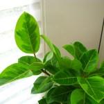 ゴムの木「フィカスアルテシーマ」は斑入りの葉が美しい観葉植物。