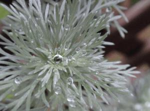 アサギリソウの水滴