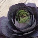 黒いカップ咲き葉牡丹「ブラックルシアン」の寄せ植えアイディア
