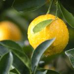 トゲなしレモンはベランダで育てるオススメ果樹!皮ごと味わう贅沢を