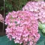 ピンクの紫陽花アナベルをコンパクトに育てる!剪定方法はとても簡単