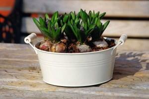 ヒヤシンスの鉢