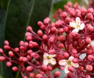 スキミア(シキミア)の花