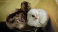 chicks2-017