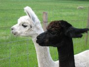 July August 2009 beachalpacas 003