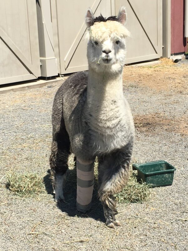 Gattlin is recovering nicely after a sprained leg. He was horsing around with his buddies, or in this case, alpacaing around with his buddies!
