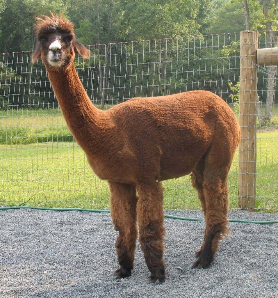 Patience the alpaca from Grist Mill Farm