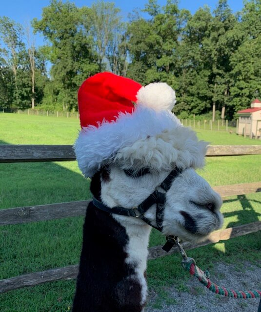 alpaca wearing a santa hat