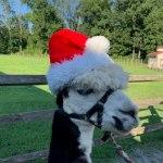 alpaca wearing a santa hat