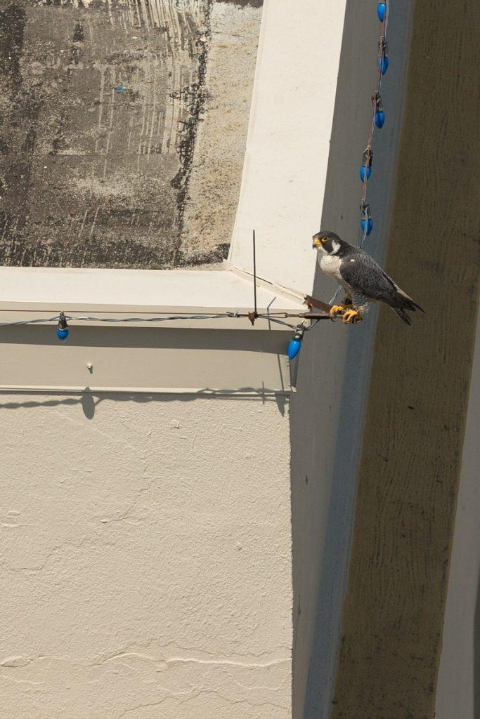 Tacoma Peregrine Falcons_03