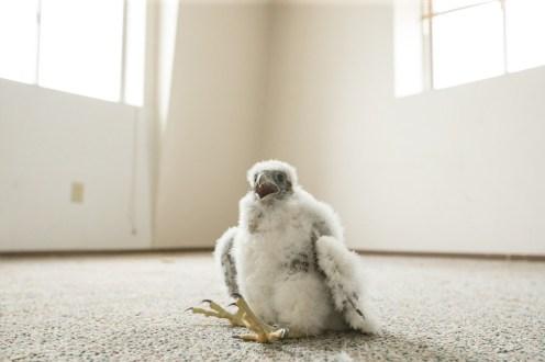 Tacoma Peregrine Falcons_17