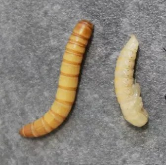 ver de farine-elevage-evolution