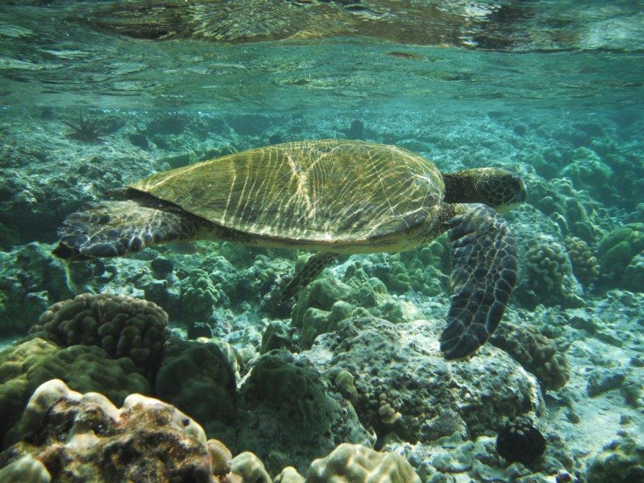 turtle-snorkeling